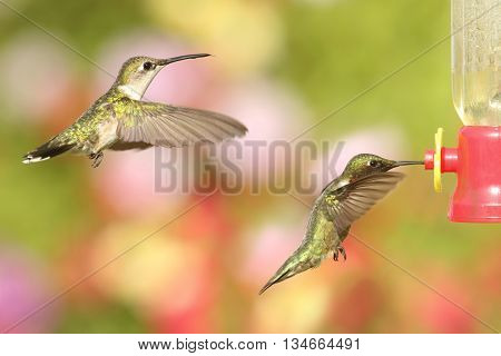 Male and female Ruby-throated Hummingbirds (archilochus colubris) in flight at a feeder with a colorful background