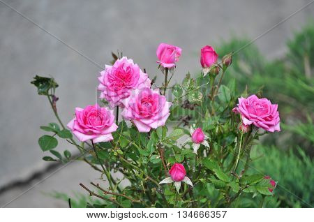 Beautiful pink rosebud with leafes in the garden