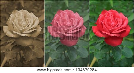 Photo of flowering red rose edited in Sepia Old Style and Modern Style three pictures isolated on the white background