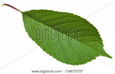Prunus Padus Green Leaf Isolated