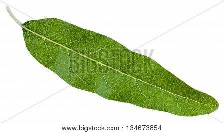 Green Leaf Of Elaeagnus Angustifolia Isolated