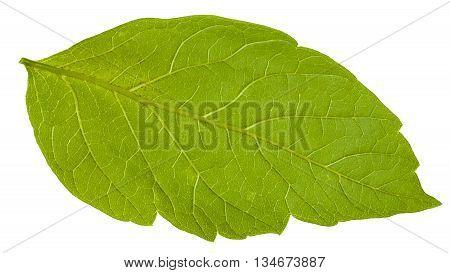 Back Side Of Green Leaf Of Acer Negundo Tree