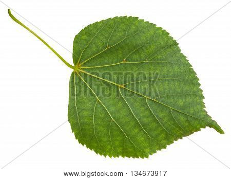 Back Side Of Green Leaf Of Tilia Cordata Tree