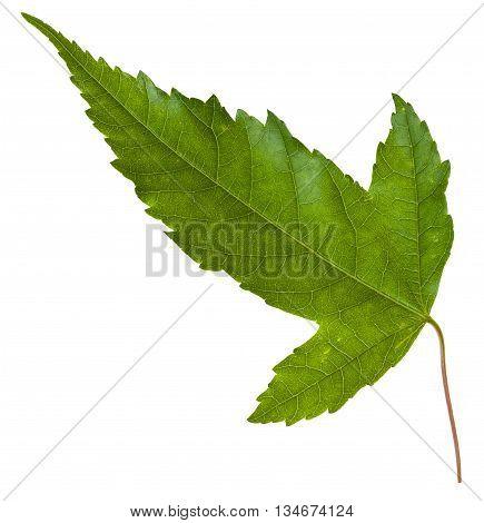 Back Side Of Leaf Of Acer Tataricum Maple Tree