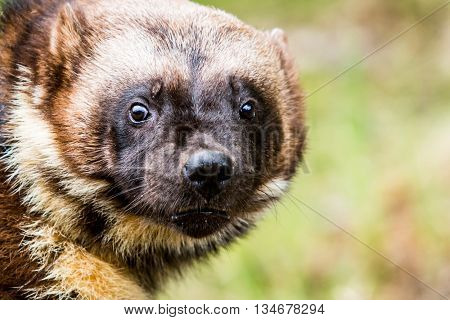 Close up face of fierce wild wolverine looking ahead with copy space poster
