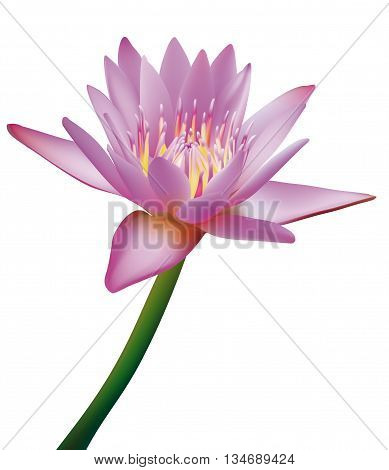 Photorealistic vector illustration of Lotus. Isolated with white backround