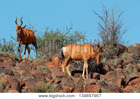 Red hartebeest antelopes(Alcelaphus buselaphus) in lnatural habitat, South Africa