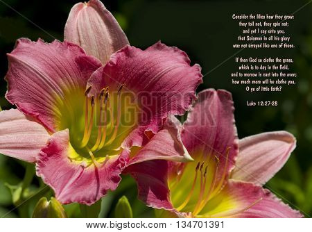 Peachy Pink and Yellow Day lilies Hemerocallis Blossoms and Luke 12 Bible Verse
