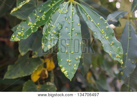 Summer with green linden tree leaf infected by a gall mites bacterial