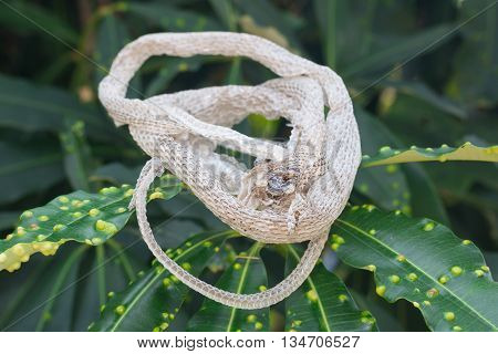 The Snake molt on the green Leaves poster