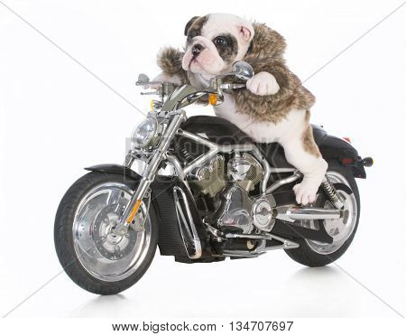 dog riding motorcycle isolated on white background