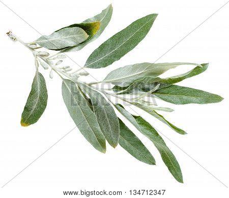 Twig With Silver Leaves Of Elaeagnus Angustifolia