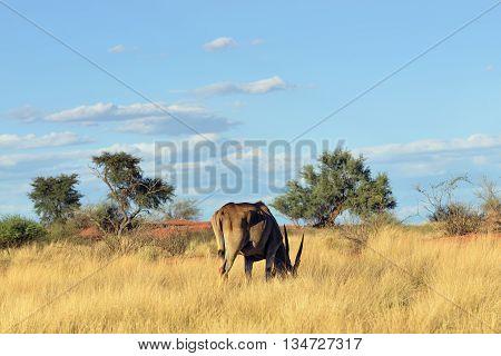 Great kudu antelope fiding in the Kalahari desert at sunset time. Specie Kobus ellipsiprymnus family of bovidae