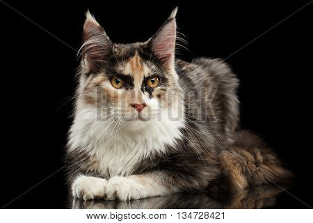 Maine Coon Cat Lying and Curious Looking in Camera Isolated on Black Background, Side view