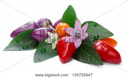 Hot Bolivian Rainbow Peppers (capsicum Annuum)