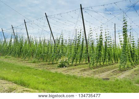 Hops Field in France. Organic Plantation of Hops