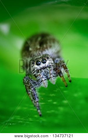 A macro shot of a jumping spider (Salticidae)