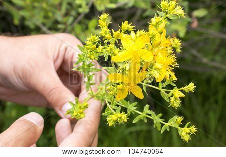 icture of a Man Hand holding St John's wort
