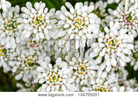 Soft focus of Evergreen Candytuft flower, Iberis, in white petals with yellow pollens (Iberis sempervirens) during summer in Austria, Europe