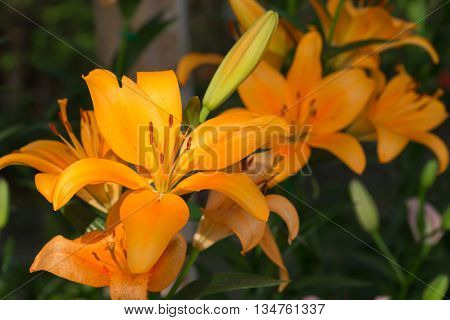 Beautiful Lily Flowers Blooming In Floral Garden