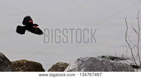 Beautiful background with the flying blackbird and the rocks and water