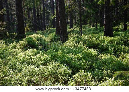 Fresh green and shiny blueberry bushes in a coniferous forest