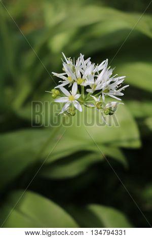 Ramson garden, Bow bear, wild garlic (allium ursinum) is a perennial herb