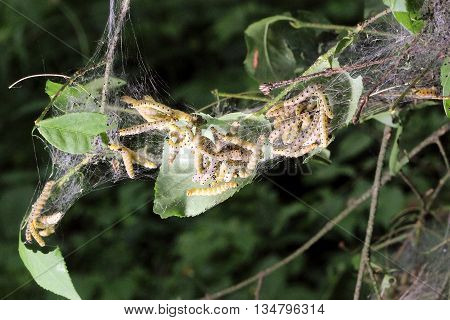 caterpillars codling moth Hyponomeuta malinella are feeding on a leaf spindle tree