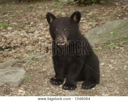 Sitting Black Bear Cub