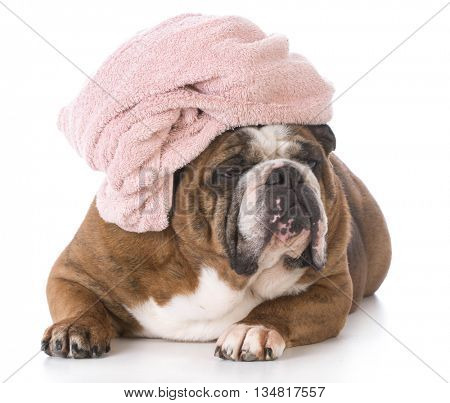 english bulldog after a bath with a towel wrapped around her head isolated on white background