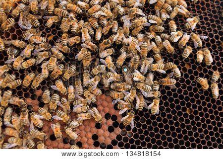 Queen bee detail. Apiculture rural life. Beekeeping