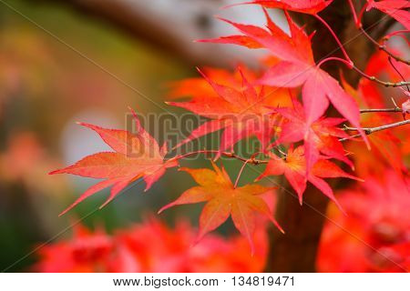 View of Red Maple Leaves in colorful Autumn