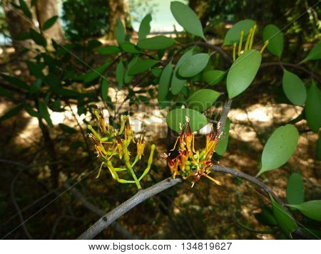 New Zealand Beech Forest Native Mistletoe Flower