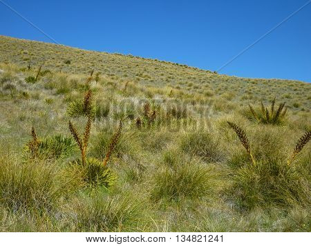 New Zealand native Mountain grasses in summer
