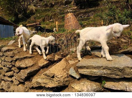 White goats in small village, baby goat on top, farm animal goat
