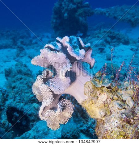 coral reaf with violet mushroom leather coral at the bottom of tropical sea underwater