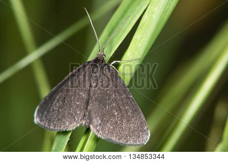Chimney Sweeper moth (Odezia atrata). Distinctive black day-flying species in the family Geometridae at rest on grass poster