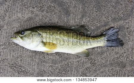 Largemouth Bass close up profile on a gray carpet background