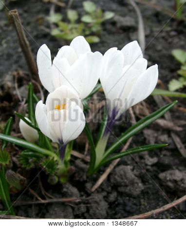 The First Spring Crocuses