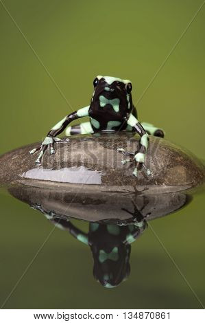 Poison Dart Frog (Dendrobates Auratus) reflected in water poster