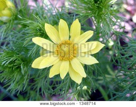 Yellow Flower Of An Adonis