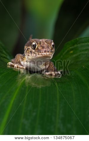 Madagascan Ground Gecko (Paroedura Pictus) on large wet palm leaf