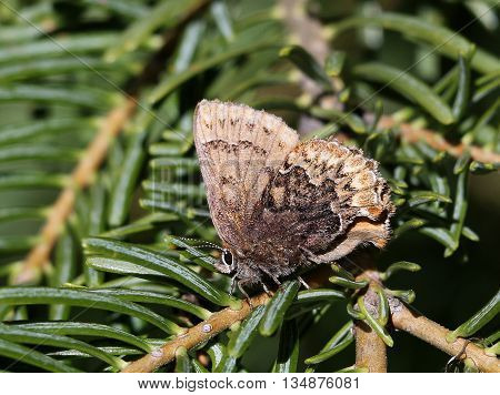 A Hoary Elfin Butterfly (Callophrys polios) resting on a branch