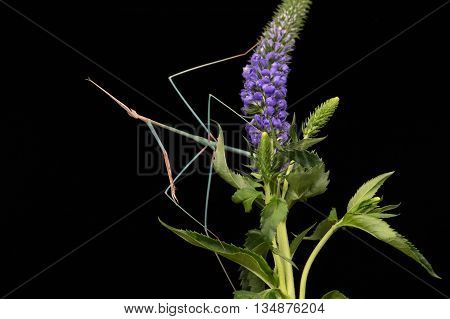 Indian Grass Mantis (Schizocephala Bicornis) on purple flower head