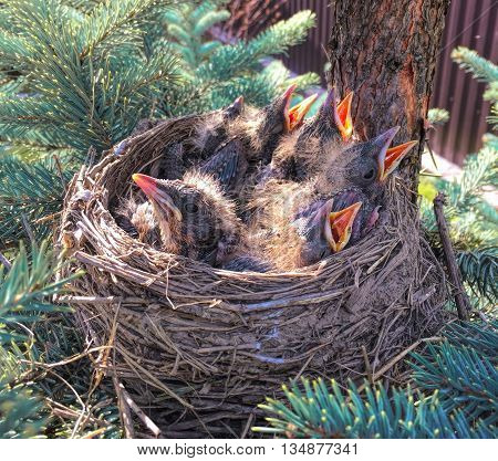 Small birds in the nest, chicks in nest, birds with opened beaks, hidden nest with chicks in forest poster