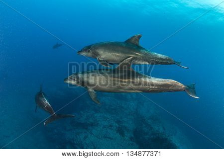 Bottlenose Dolphins at Islas Revillagigedos in Mexico