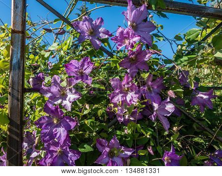 A closeup shot of delicate purple flowers in full bloom on a metal trellis.