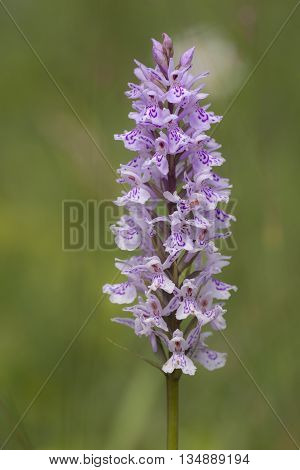 Heath Spotted Orchid (Dactylorhiza maculata) flowering in an Arboretum