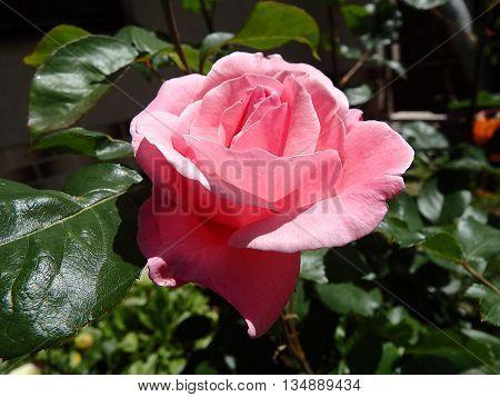 rose flower , rose , eglantine , dog-rose , pink rose flower
