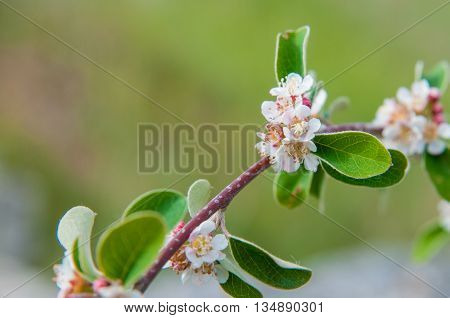 blooming twig of wild plum thorns on the background of green foliage